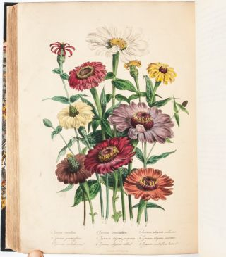 Image 7 of 9 for The Ladies' Flower Garden of Ornamental Annuals