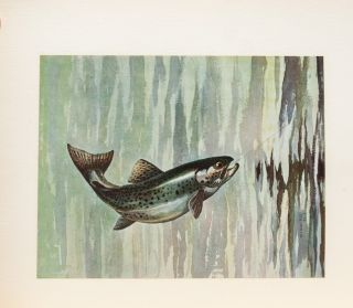 Image 6 of 8 for Fish by Schaldach: Collected Etchings, Drawings, and Watercolors of Trout and...